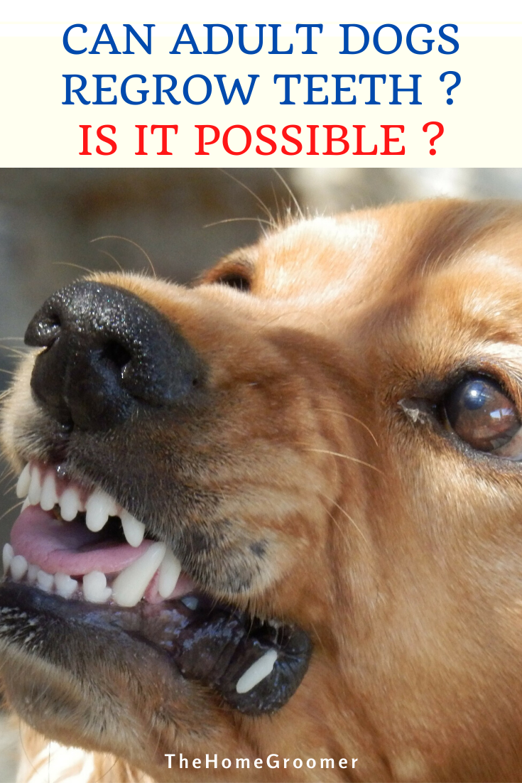 Can Adult Dogs Regrow Teeth Is It Possible Aggressive Dog Dog Training Dog Behavior