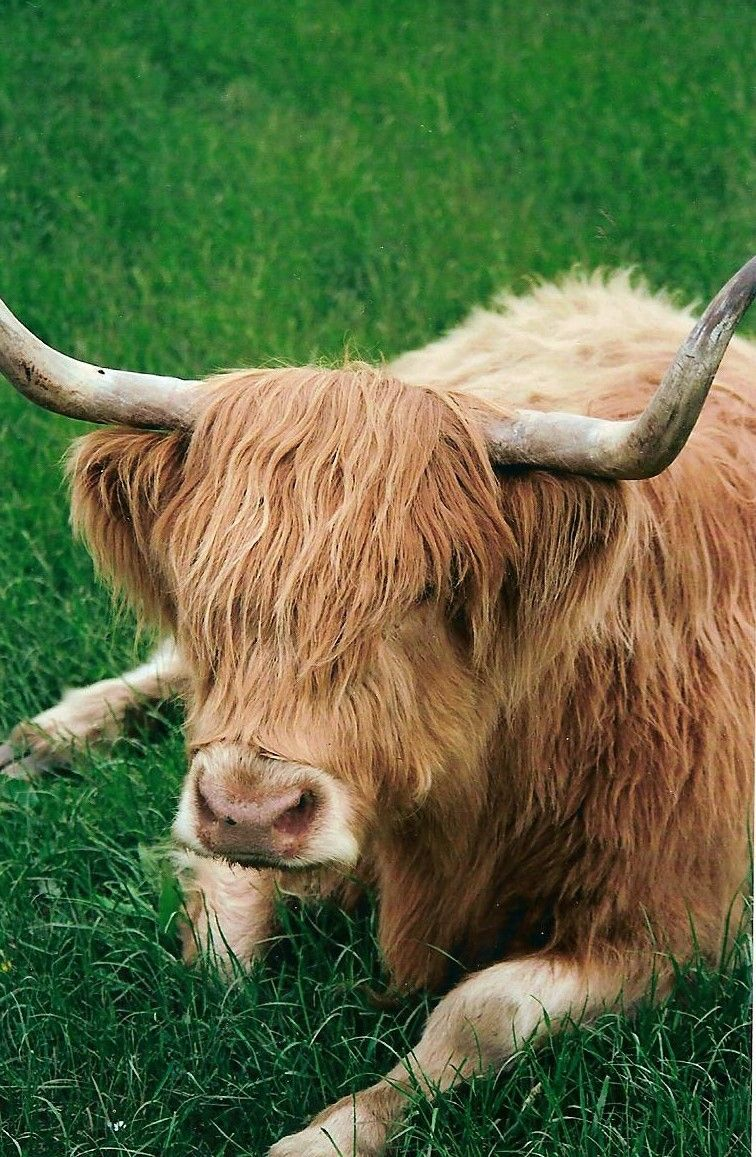 Highland Cow....toffee:-) | Scottish cow, Highland cattle ...