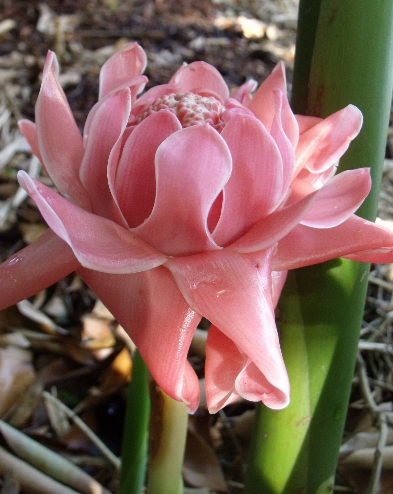Torch Ginger Torch Ginger Flower Torch Ginger Strange Flowers