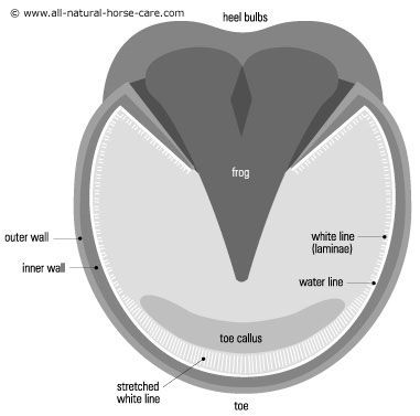 Diagram Of Horse Hoof With Stretched White Line Laminitis Www