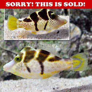 Drs Foster And Smith Diver S Den Paraluterus Prionurus Pet Accessories Foster And Smith Fish Pet