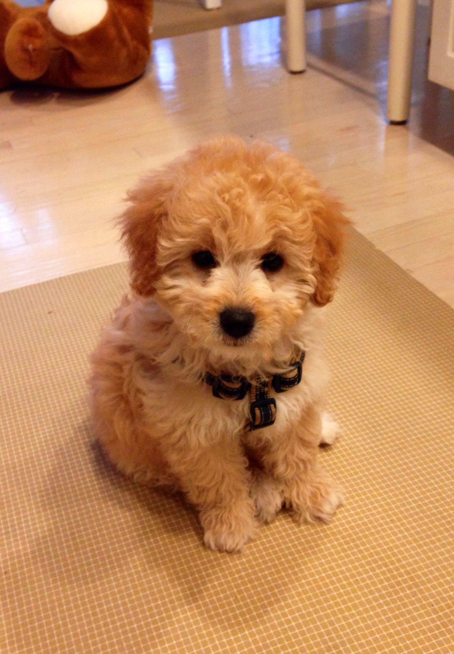 My mini goldendoodle @rileyavil   sötnosar   Pinterest ...
