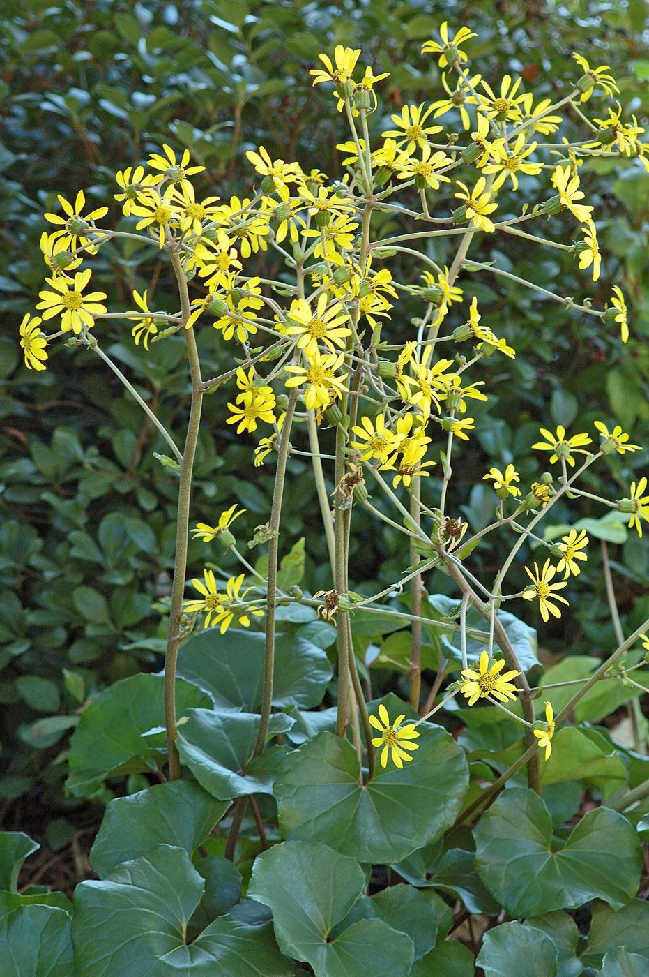 The leopard plant is a hardy shade loving plant that typically flowers izmirmasajfo