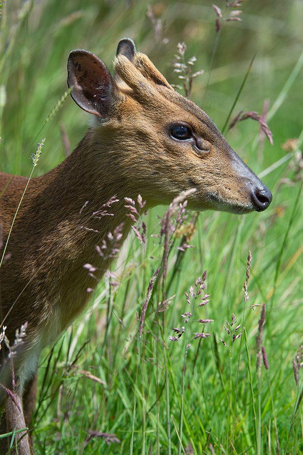 Muntjac Deer (Muntiacus Reevesi) Deer, Mammals