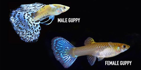 Male and female guppies guppy fish tag pinterest for Guppy fish care