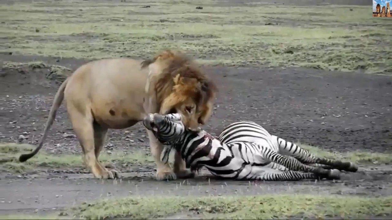اقوى واشرس مقاطع افتراس الاسود للحيوانات 2017 Animals Zebra Watch V