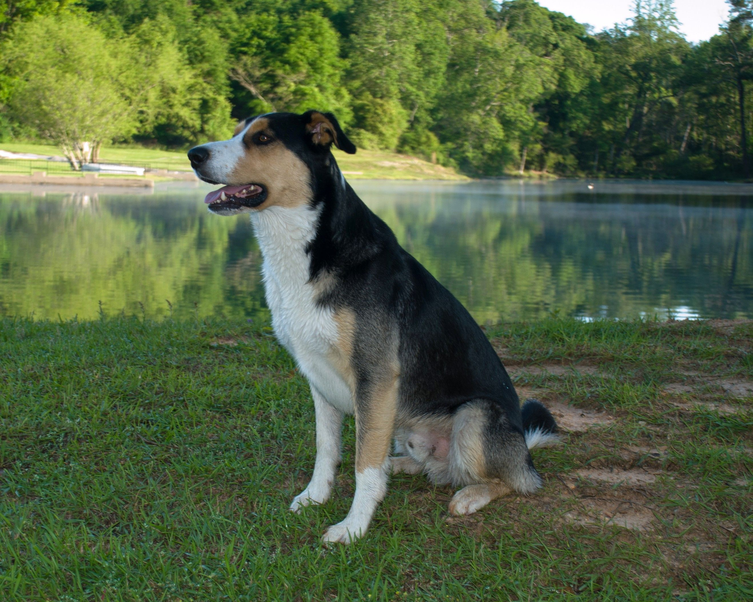 My Short Hair Tri Color Border Collie Finnegan With Images