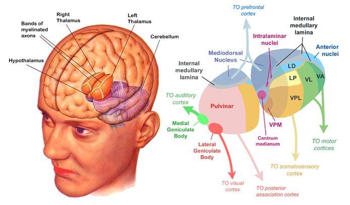 Psych M.D- Thalamus - The Neuron