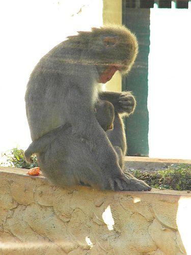 Macaca Japonesa amamentando