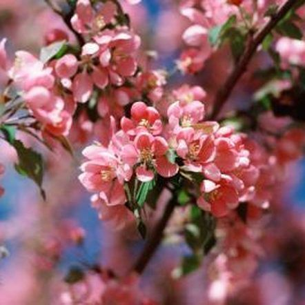 The Best Time To Plant A Yoshino Cherry Pink Flowering Trees Flowering Cherry Tree Pink Dogwood Tree