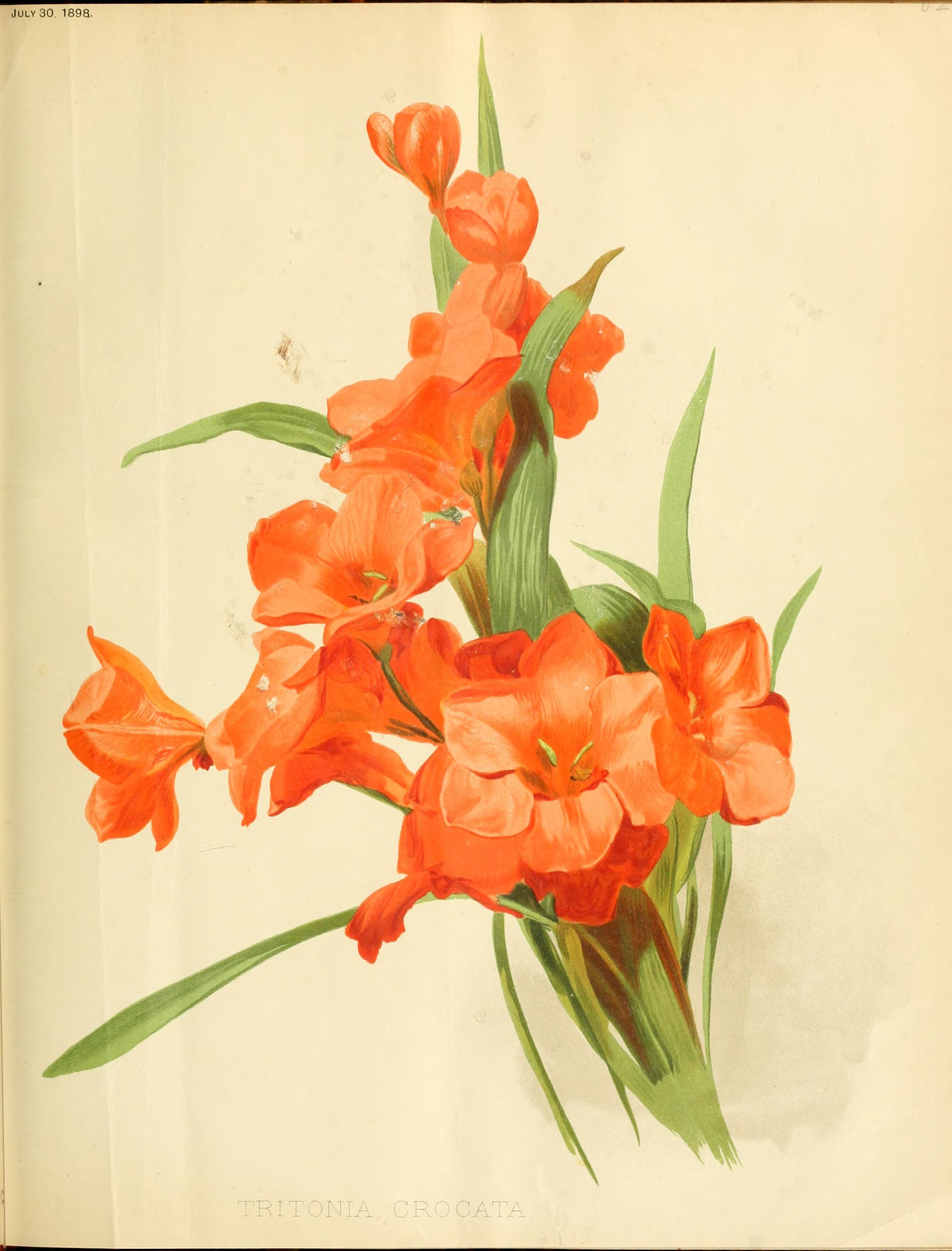 Tritonia crocata circa 189 iridaceae the iris family flower artwork bearded iris tritonia crocata circa 189 izmirmasajfo