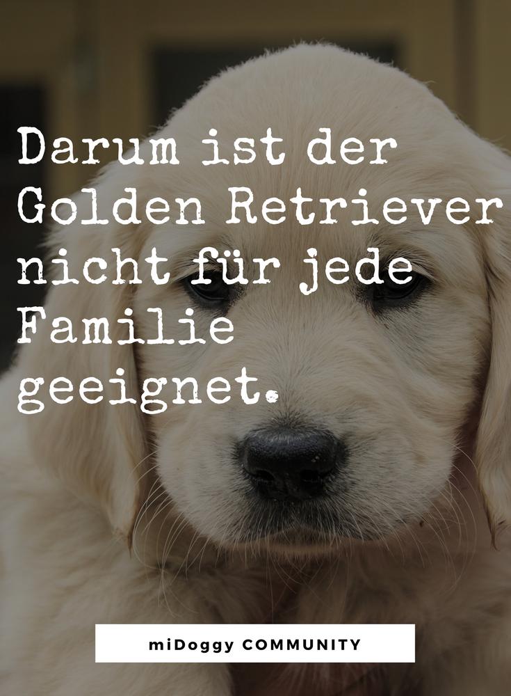 Die Golden Retriever Luge Midoggy Community Hunderassen Hunderassen Bilder Hunde