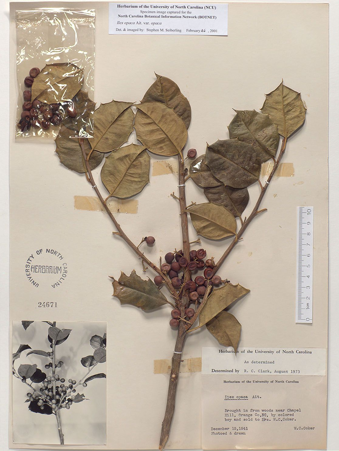 Ilexopacaresources for botanical sketchbooks resources for art