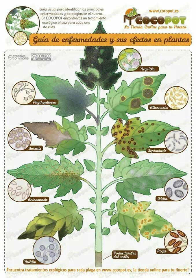 Enfermedades de las plantas huerto plantas pinterest - Plantas de huerto ...