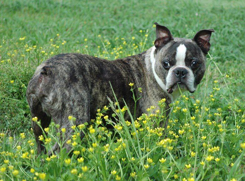 Adopt HOULIHAN-Adopted!!!! a Boston Terrier