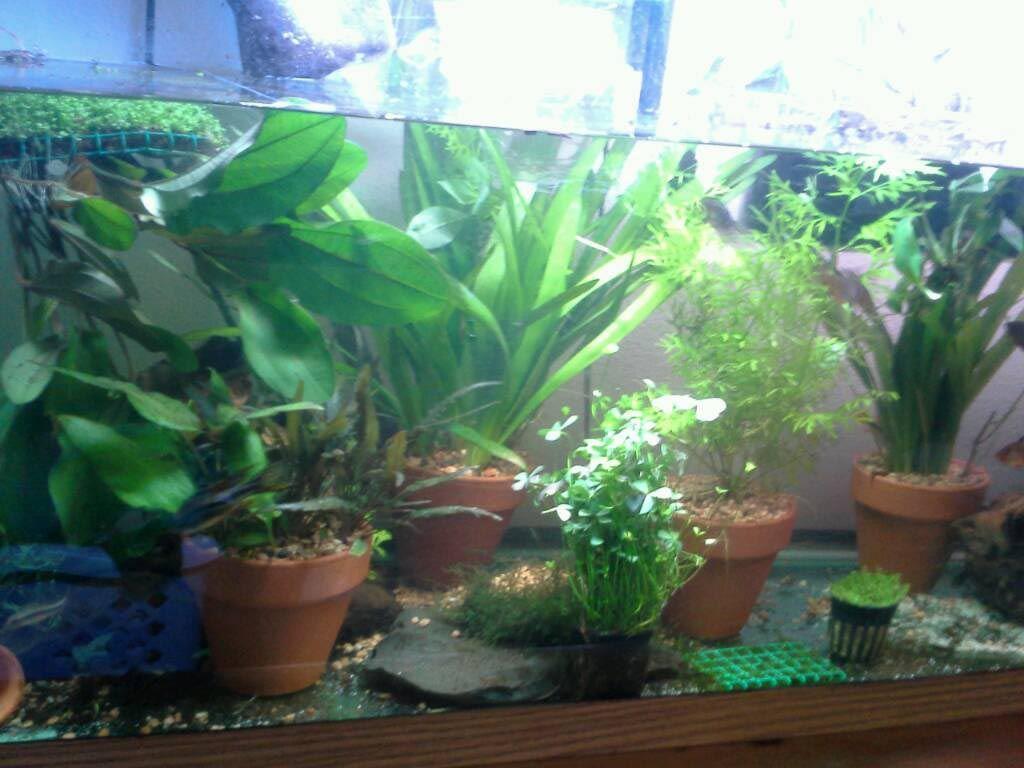 Tall Live Aquarium Plants Planted Aquarium Live Aquarium Plants