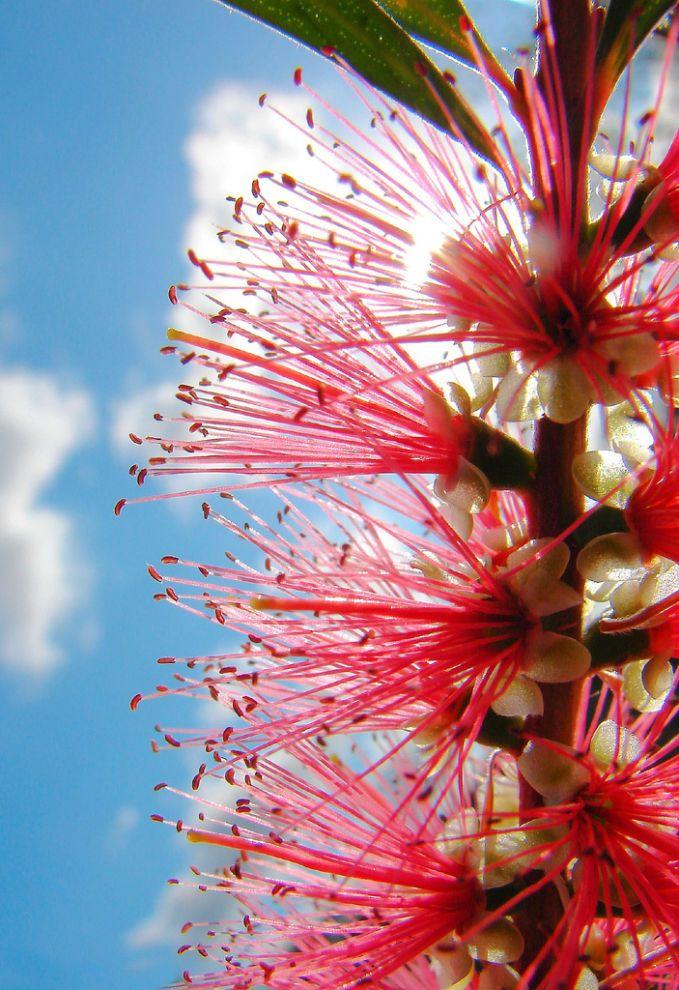Australian Bottlebrush (With images) Australian native