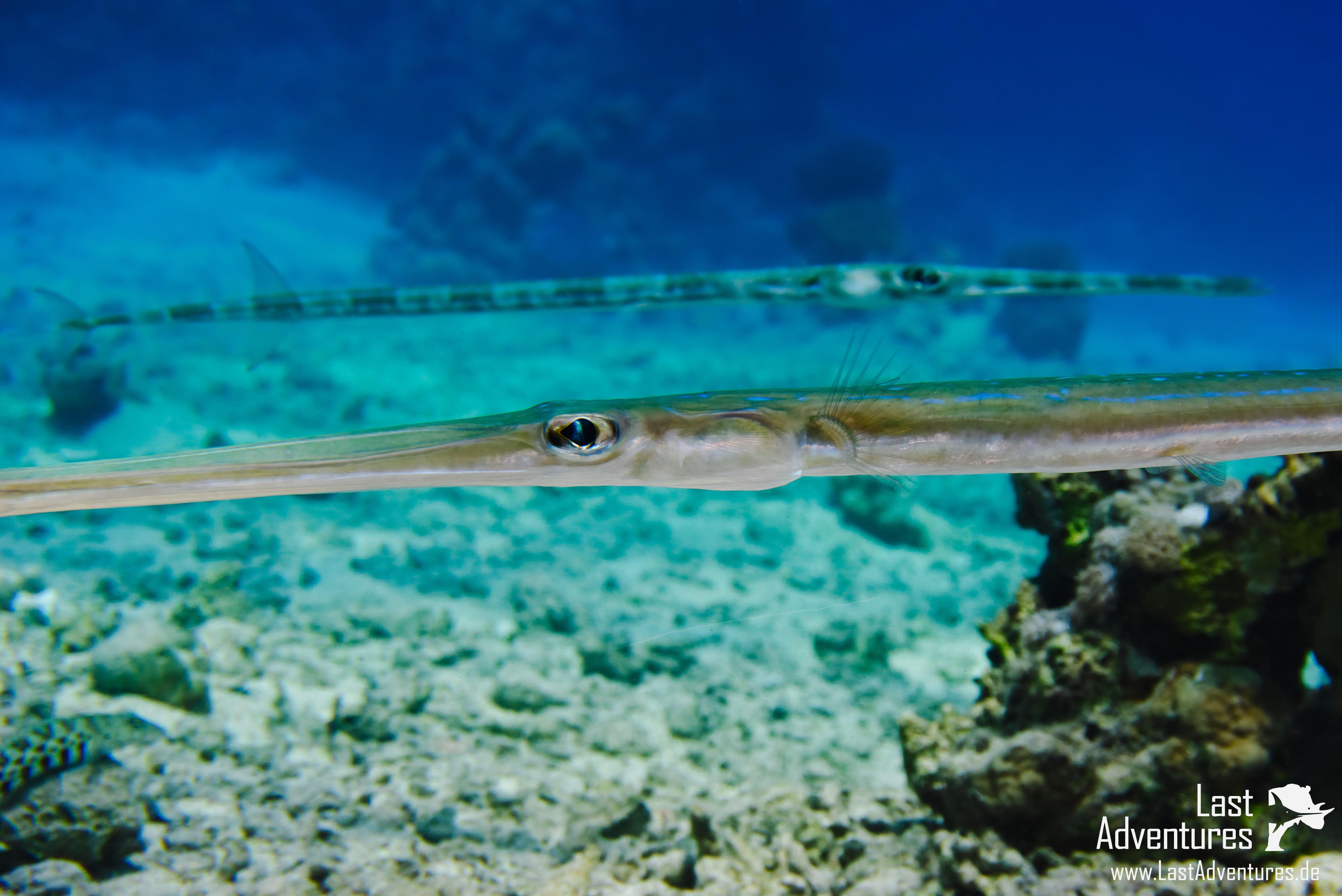 Flötenfisch fotografiert in Ägypten # Flötenfisch #Cornetfish #fisch ...
