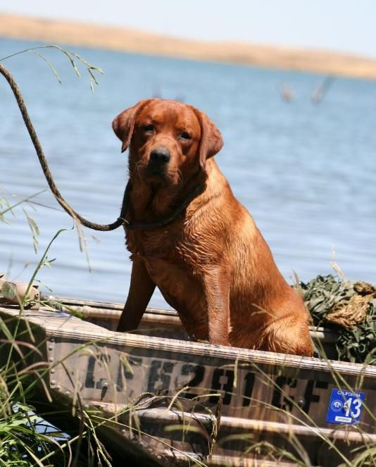 Labrador Stud Service In Ca Labrador Stud Service In California