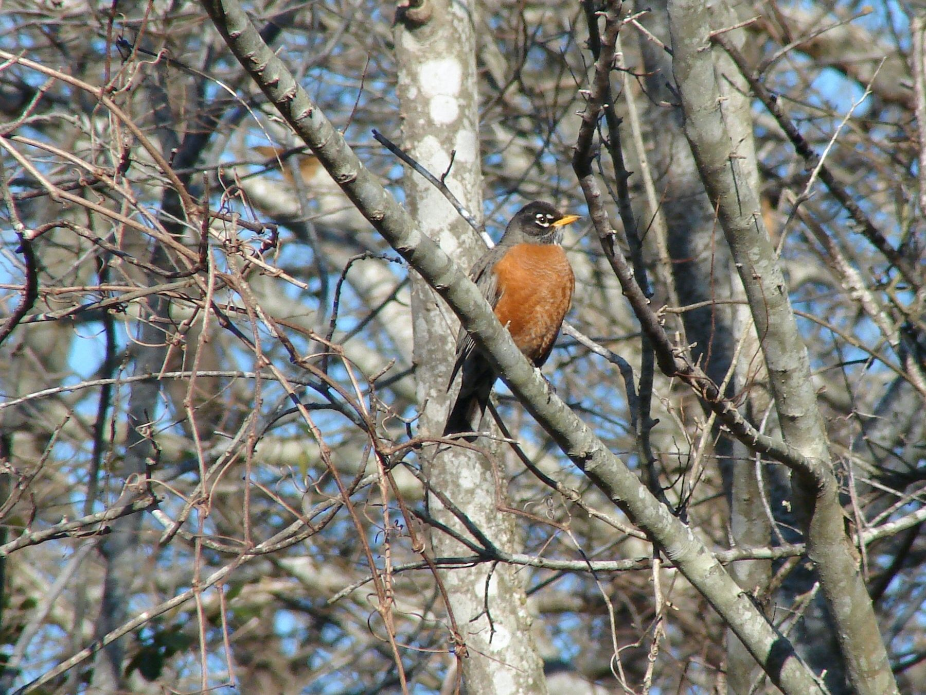 The American Robin was the 6th most spotted bird in the ...