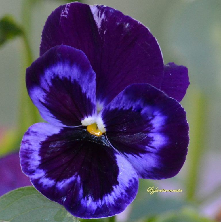 How To Plant And Care For Pansy Flowers Pansies Easy Backyard Gardening Pansies Flowers Beautiful Flowers Garden Beautiful Flowers