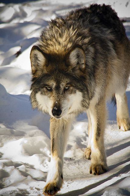 ☀Mexican Wolf - Another Brother by Ben Lindstorm**