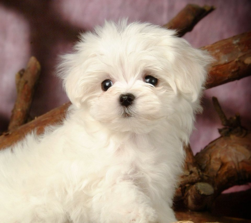 White Maltese Puppy Dogs Maltese Dogs Dogs Puppies Maltese