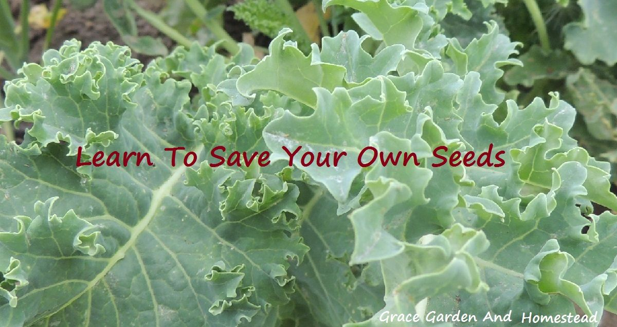Learn how to save your kale seeds.