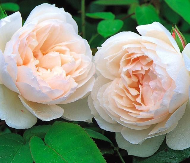 """Gorgeous rose I want to find! David Austin's """"The Generous Gardener""""."""