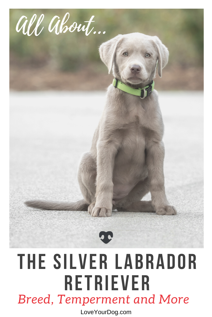 The Silver Lab is a gorgeous dog, with the classic looks of a Labrador but with a shimmery silver twist! He is beautiful, he has an awesome temperament! FInd out more here! #LoveYourDog #SilverLab #Dog #Dogs #SilverLabrador