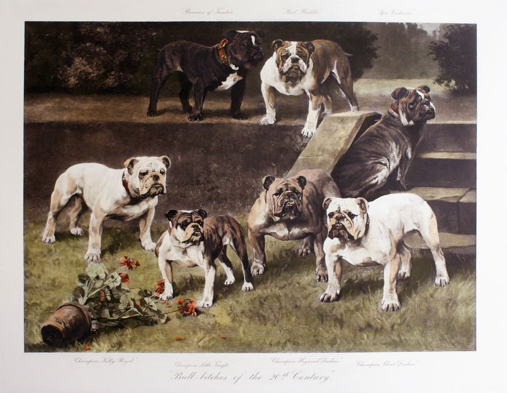 BULLDOG ENGLISH BRITISH DOG FINE ART ENGRAVING PRINT  Bull Bitches Arthur Wardle