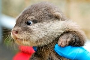 baby otter!!! by traceyjo