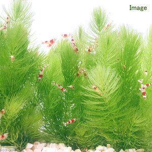 ボトルアクアリウムに適した植物 水草 浮き草 水草 アクアリウム マツモ