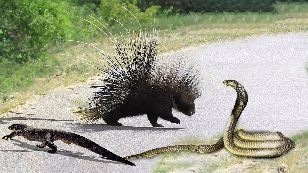 King Cobra Attack Baby Hedgehog And The Unexpected Best Battle Of Jpg 1280x720