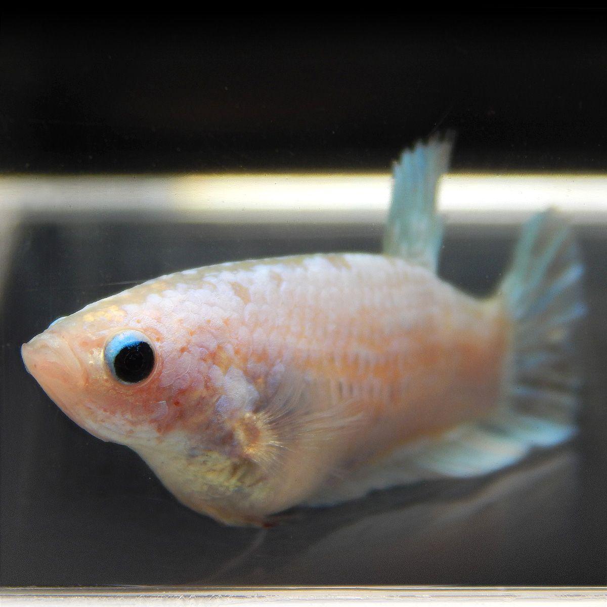 Pin By Fishgang On Betta Betta Fish Betta Fish Pet