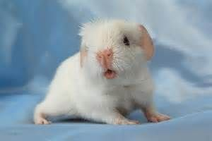 guinea pigs in love - - Yahoo Image Search Results