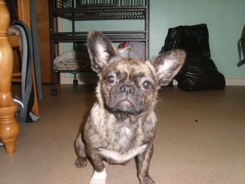 cute mix...someone said Frenchie?Pug...whatever...it's adorable...