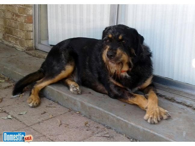 Rottweiler Mix Male Dog Free Cowboy Is Rottweiler Mixed With