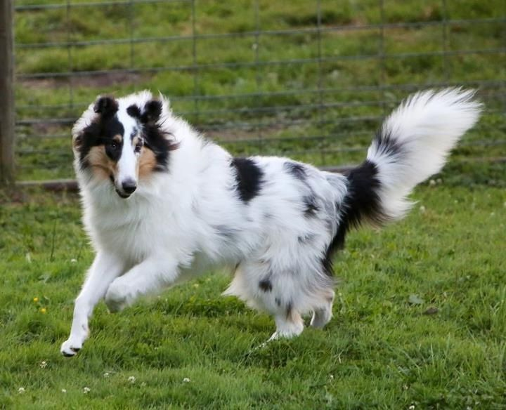 Harlequin Rough Collie Rough Collie Dog Breeds Sheltie Dogs