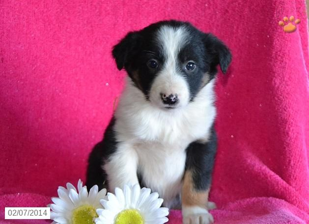 Border Collie Puppy For Sale Border Collie Puppies Collie Puppies For Sale Collie Puppies