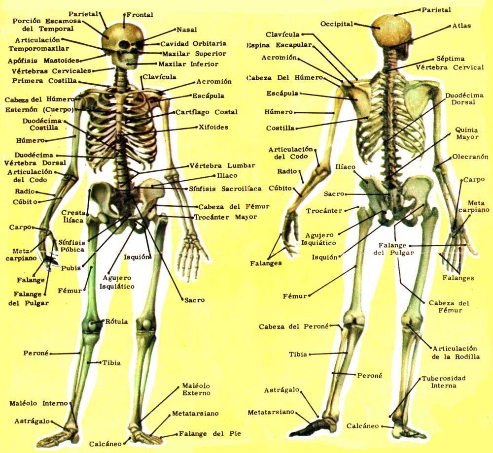 Huesos del esqueleto humano   vocabulario - El Cuerpo Humano ...