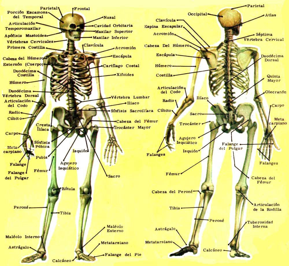 Huesos del esqueleto humano | EL CUERPO HUMANO | Pinterest | Huesos ...