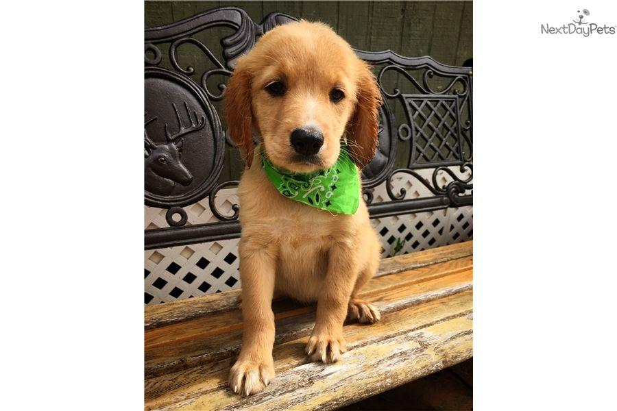 Gritts Golden Retriever Puppy For Sale Near Greenville Upstate South Carolina 702976ef 6951 Golden Retrievers For Sale Puppies Female Golden Retriever