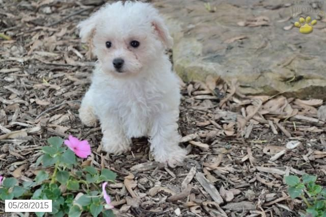 bichon frise puppies ohio