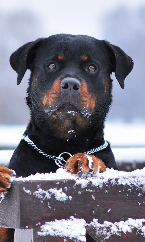 480x800 Wallpaper Rottweiler Dog Snow Collar Eyes S