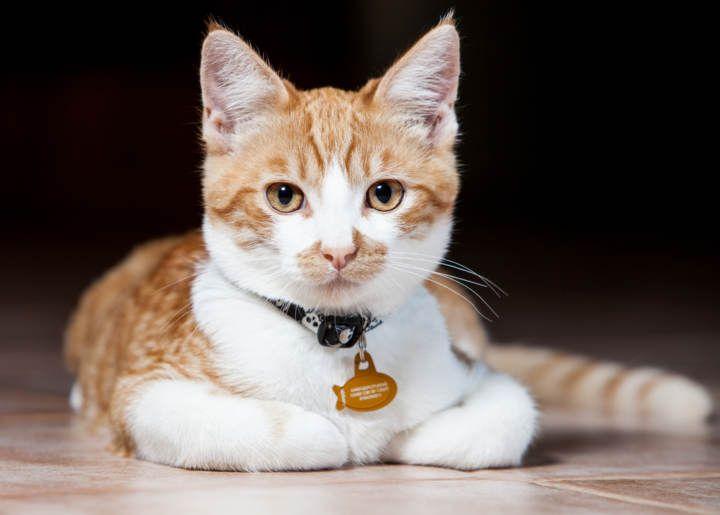 Cada cuánto tiempo debes cambiar el collar de un gato
