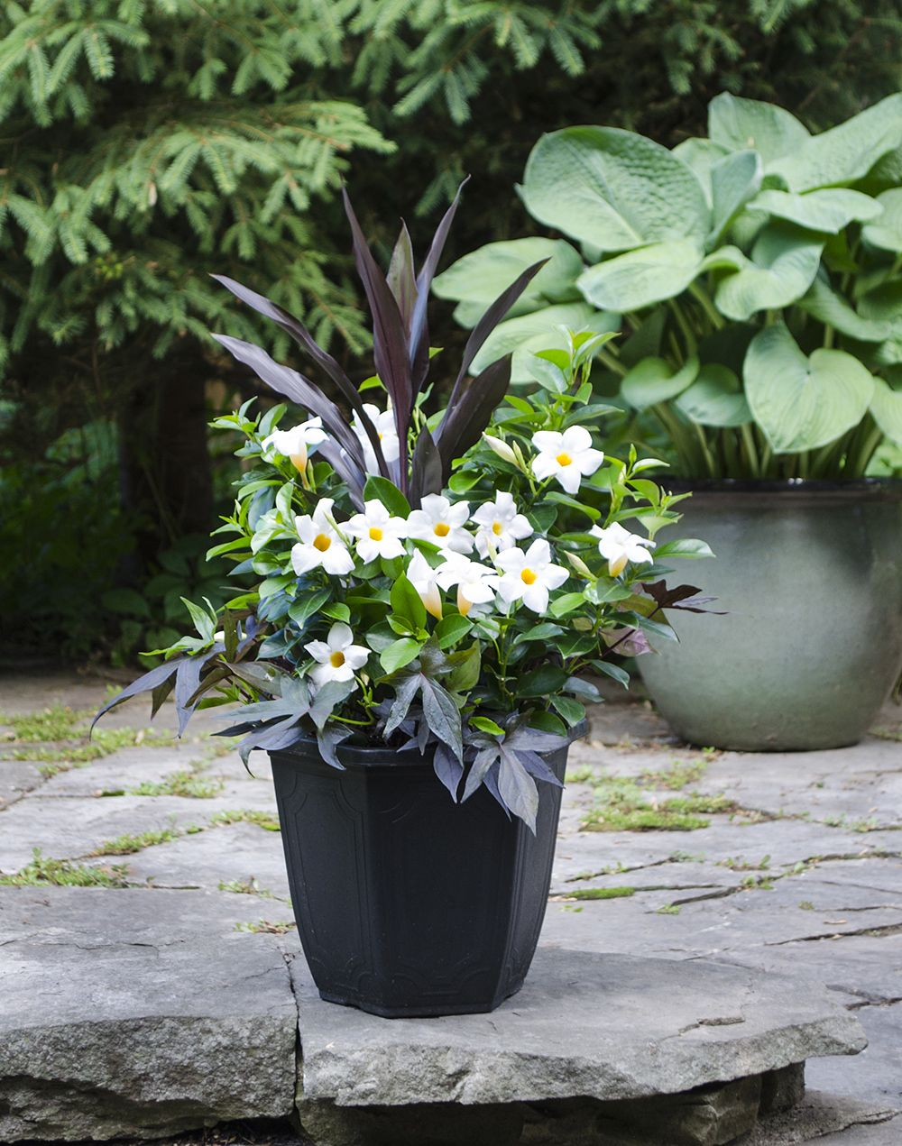 White rio dipladenia tropical planter for Landscaping with potted plants