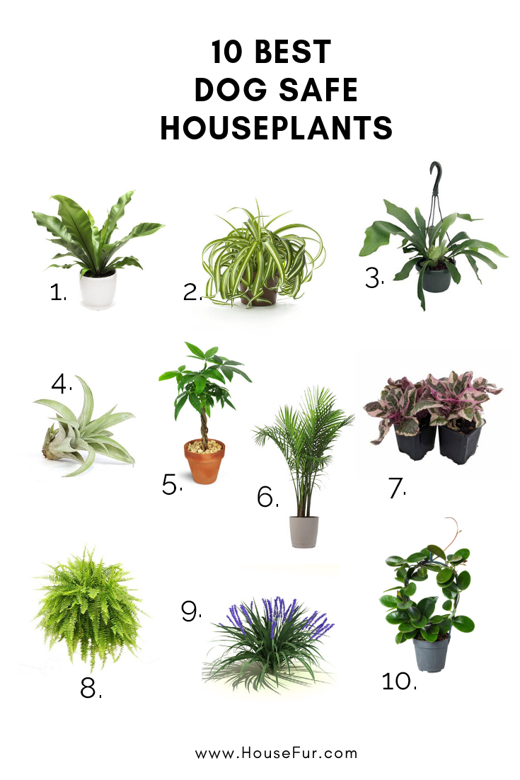 10 Houseplants That Are Safe For Dogs House Fur Safe House Plants House Plants Indoor Dog Safe Plants
