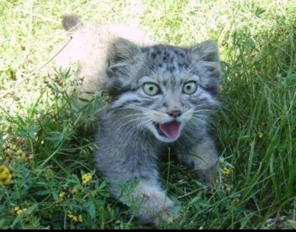 Pallas Kitten Susse Tiere Wilde Katzen Stubentiger