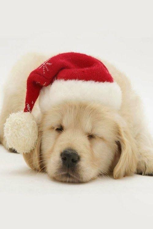 Pin On A Golden Christmas Christmas hd wallpaper puppies kitten